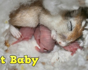 Animals Giving Birth And Eating Baby | Is hamster a good mother? | Colahamham - animals giving birth and eating baby is hamster a good mother colahamham