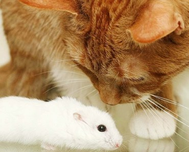 Cat Reacts to Fluffy Hamster - cat reacts to fluffy hamster