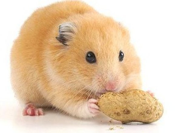 Prostate Health - Shrink Prostate Gland - Hamster Care Sheet