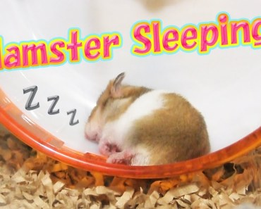 Cute hamster sleeping - Cute Animal - cute hamster sleeping cute animal