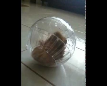 DO NOT PUT a Guinea Pig a In A Hamster Ball! BAD IDEA! - do not put a guinea pig a in a hamster ball bad idea