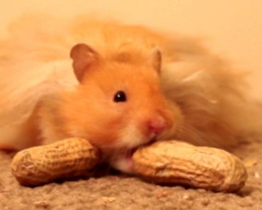 'Do You Want to Eat a Nut, Man?' - Frozen - Parody - The Talking Hamster - do you want to eat a nut man frozen parody the talking hamster