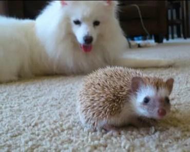 Dog meets Hedgehog - dog meets hedgehog