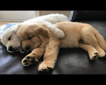 Funniest & Cutest Golden Retriever Videos - Funny Dogs Compilation 2018 - funniest cutest golden retriever videos funny dogs compilation 2018