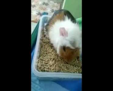 Funny white Hamster and Guinea Pigs and Gatsby - funny white hamster and guinea pigs and gatsby