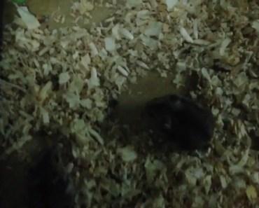 giới thiệu về trại hamster siêu nhỏ của mình - gioi thieu ve trai hamster sieu nho cua minh