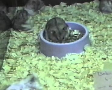 Hamster Backflips! - hamster backflips