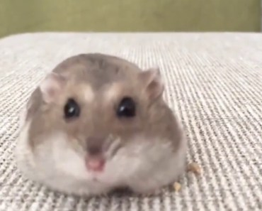 Hamster Eats A Trail Of Seeds - hamster eats a trail of seeds