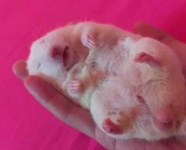 Hamster falls into deep sleep after a little head massage - hamster falls into deep sleep after a little head massage