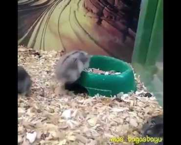 "Hamster funny ""Acrobatic"" - hamster funny acrobatic"