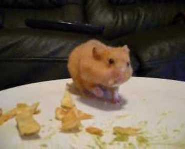 hamster harry eating chips!! stuffing his cheeks - vacuum! - hamster harry eating chips stuffing his cheeks vacuum