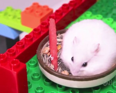 Hamster indoor PlayGround Funny kids Funny Stacy Playing with Duplo Spiderman - hamster indoor playground funny kids funny stacy playing with duplo spiderman