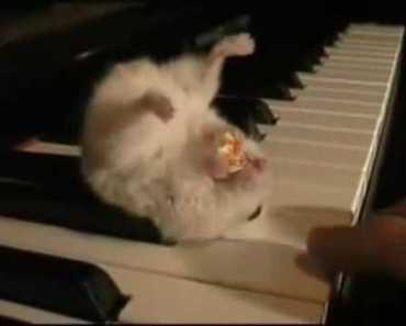 Hamster on a Piano - hamster on a piano