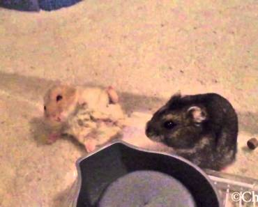 Hamster RKO out of nowhere - hamster rko out of nowhere