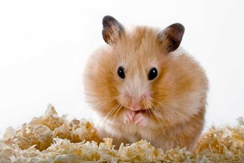 Types and Symptoms of Crohn's Disease - Hamster Care Sheet