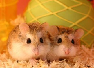 Dwarf Hamster Health and Breeding Tips