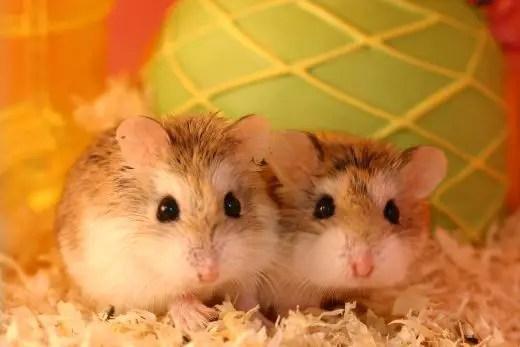 Dwarf Hamster Health and Breeding Tips