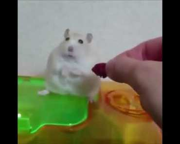 HELLO DARKNESS MY OLD FRIEND |HAMSTER - hello darkness my old friend hamster