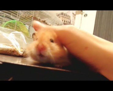 'How to Pet a Hamster' - The Talking Hamster - how to pet a hamster the talking hamster