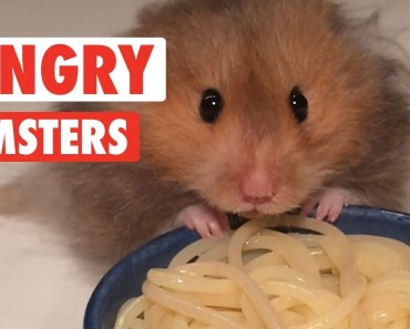 Hungry Hungry Hamsters | Funny Pet Videos 2018 - hungry hungry hamsters funny pet videos 2018