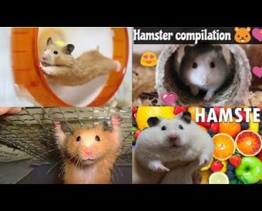 NEW /Best Hamster Compilation 2018 - Vine Cute and funny hamster Try not to laugh Challenge - new best hamster compilation 2018 vine cute and funny hamster try not to laugh challenge