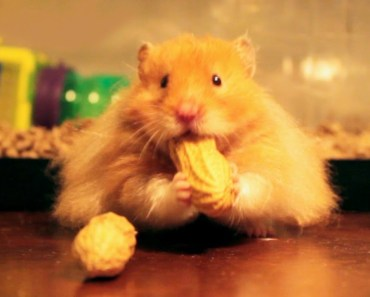 'Nuts - Give 'Em to Me' - The Talking Hamster - nuts give em to me the talking hamster