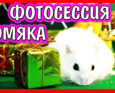 photo session FANNY & KUKI / Christmas PHOTOS hamsters / Hamster model / Alisa easy - photo session fanny kuki christmas photos hamsters hamster model alisa easy