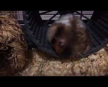 Sleeping hamster drops out of his wheel - sleeping hamster drops out of his wheel