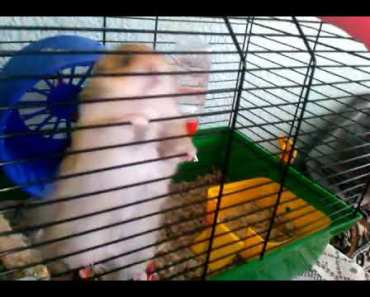The funniest hamster video - the funniest hamster video