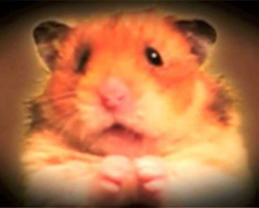 The Most Interesting Hamster in the World! - Dos Equis Commercial Parody - The Talking Hamster - the most interesting hamster in the world dos equis commercial parody the talking hamster