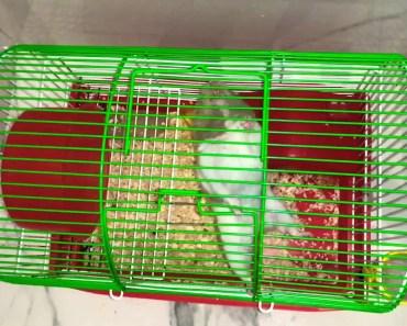 The TARZAN! Funny Hamster - the tarzan funny hamster