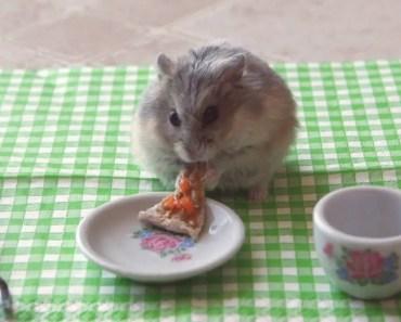 Tiny dwarf hamster eating a tiny pizza - tiny dwarf hamster eating a tiny pizza