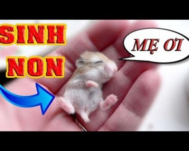 Tony - Chuột Mẹ Hamster Sinh Non | Hamster In 7 Days - tony chuot me hamster sinh non hamster in 7 days