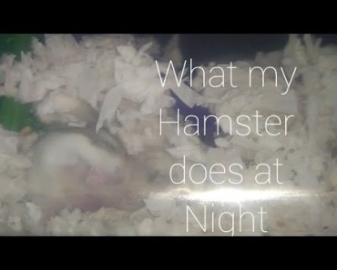 What My Hamster does at Night| The Hamster Series - what my hamster does at night the hamster series