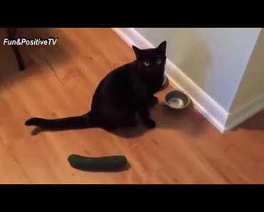 Cats Scared Of Cucumbers - Funny Cats vs Cucumbers Videos Compilation 2018 [BEST OF] - 1519816554 cats scared of cucumbers funny cats vs cucumbers videos compilation 2018 best of