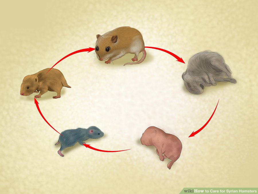 Be prepared for your hamster to live 2 to 3 years