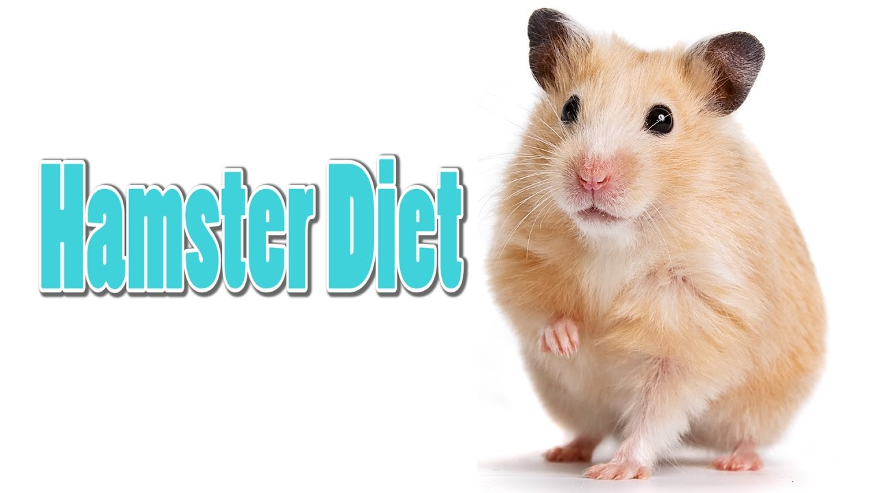 Hamster Care Diagram | Repair Manual