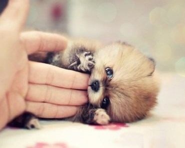 Best Of Cute Pomeranian Puppies Videos Compilation 2017 | Cute Dogs - best of cute pomeranian puppies videos compilation 2017 cute dogs