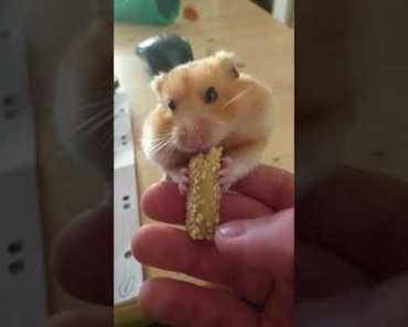 Cute & Funny Orange Syrian Hamster Eating and playing. HODL - cute funny orange syrian hamster eating and playing hodl
