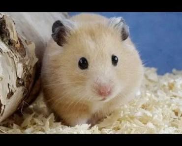 Cute hamster compilation - cute hamster compilation
