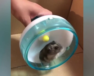 Funny animals compilation 2017 - Cute And Funny Hamster Videos - funny animals compilation 2017 cute and funny hamster videos