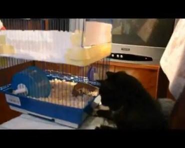 Funny Cat vs Hamster - funny cat vs hamster