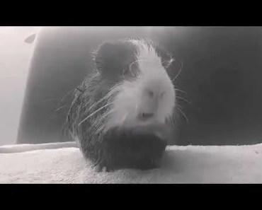 HAMSTER IMITANDO O EMINEM! - hamster imitando o eminem