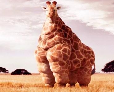 How Fat Can Animals Get? - how fat can animals get