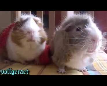 Meerschweinchen Furzt - meerschweinchen furzt