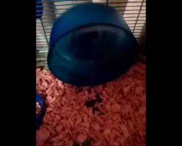 Must watch my hamster run on the wheel (funny) - must watch my hamster run on the wheel funny