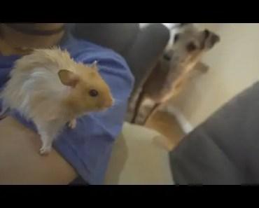 peach definitely wants our hamster - peach definitely wants our hamster