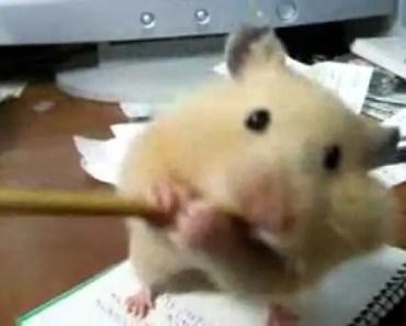 funny hamster - 1521365121 funny hamster