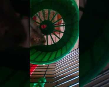 Funny hamster :) - 1521841916 funny hamster