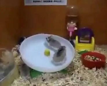 2 Hamsters 1 Wheel - Interstellar - 2 hamsters 1 wheel interstellar